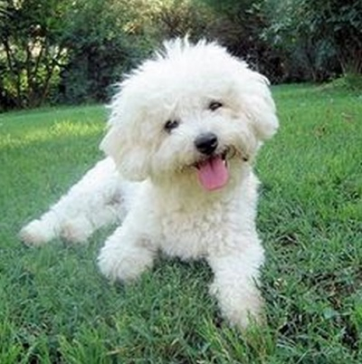 4 Great Dog Breeds For Apartments