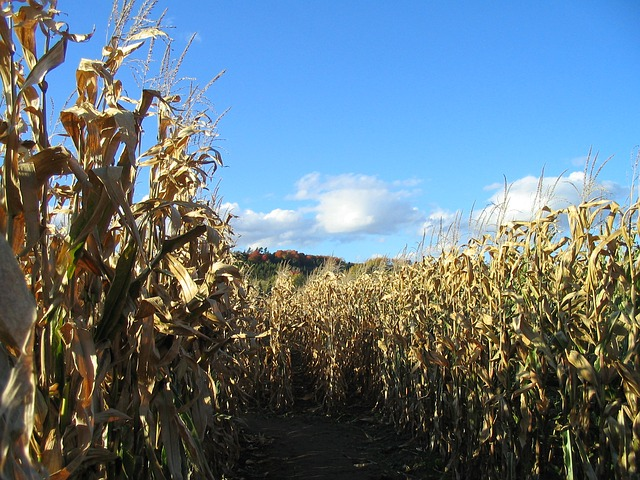 Can You Make It Through the Corn Maze at Rodgers Farms?